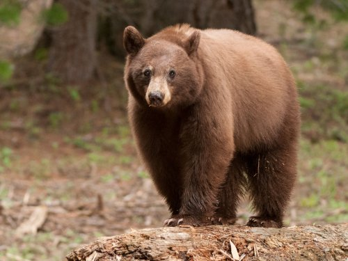 Black bear, cinnamon phase, in forest